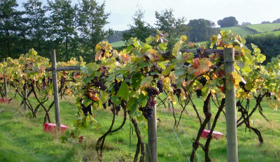Eco Hostel Palace Farm grapes