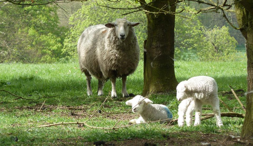 Eco Hostel Palace Farm Sheep