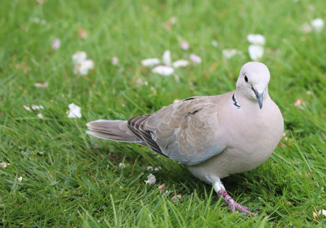 Collared Dove- photography by palace Farm